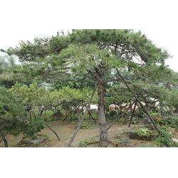 泰山景松|亿发园林中心|订购泰山景松图片