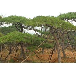 3米景松_三亚3米景松_亿发园林中心(图)图片