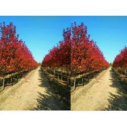 亿发园林(图)|工程用红点红枫|焦作工程用红点红枫图片