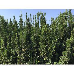 3米北海道黄杨厂家,玉林3米北海道黄杨,泰山区亿发园林(图)图片