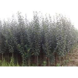3公分榆叶梅_3公分榆叶梅生长习性_亿发园林图片