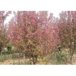 亿发园林(推荐商家)、丛生铁梗海棠图片