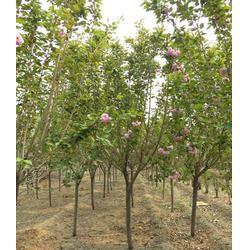 樱花苗-亿发园林(优质商家)6公分樱花苗图片