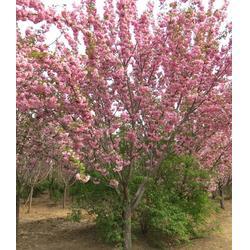 园林樱花出售|北京园林樱花|亿发园林(查看)图片