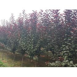 太原5公分紫葉李,泰安億發園林,5公分紫葉李報價圖片