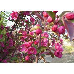 小区海棠供应、渭南小区海棠、亿发园林(查看)图片