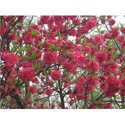 亿发园林|山东红叶碧桃|山东红叶碧桃5公分图片