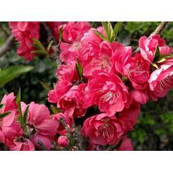 泰安市亿发园林|黄南3公分红叶碧桃|3公分红叶碧桃厂家图片