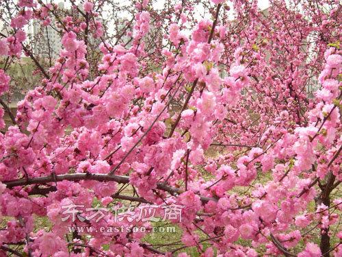 小区榆叶梅-小区榆叶梅-泰山区亿发园林(查看)图片