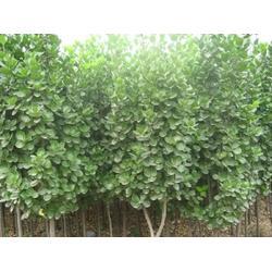 1-3米北海道黄杨哪家好|亿发园林|1-3米北海道黄杨图片