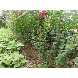 5公分丛生紫薇百日红包邮-陵水5公分丛生紫薇-泰安市亿发园林图片