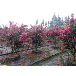 3公分叢生紫薇百日紅廠家-3公分叢生紫薇-泰安億發園林圖片
