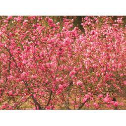 3公分榆叶梅哪家好-亿发园林-3公分榆叶梅图片