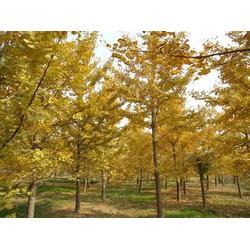24公分银杏树-银杏树-景程银杏苗木(查看)图片