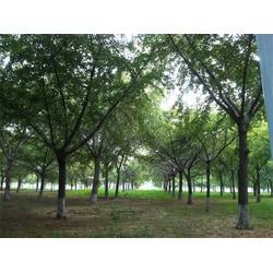米径28公分银杏树报价-银杏树报价-景程银杏