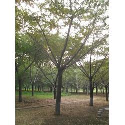 23公分银杏树多少钱-银杏树多少钱-景程银杏苗木(查看)图片