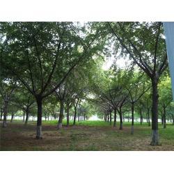 24公分银杏树-银杏树-景程银杏苗(查看)图片