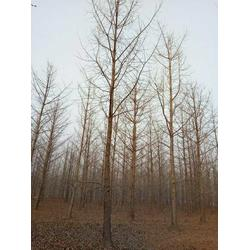 40公分银杏树多少钱-浙江银杏树多少钱-景程银杏苗圃场图片