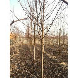 红枫树-红枫树繁殖-景程银杏(优质商家)图片