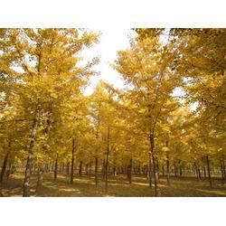 银杏树苗种植-银杏树苗-景程银杏图片
