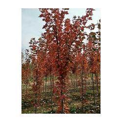 美国红枫苗木哪里有-美国红枫苗木-出售美国红枫(查看)图片