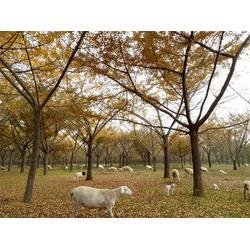 银杏树走势-景程银杏(在线咨询)银杏树图片