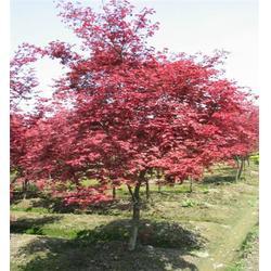 紅楓苗木-景程銀杏-紅楓苗木基地圖片