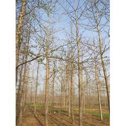 25公分的银杏树多少钱-北京银杏树多少钱-景程银杏基地图片