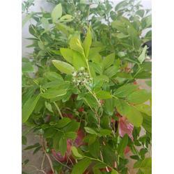 南高丛蓝莓苗_柏源农业_黔南蓝莓苗图片