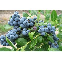 夏普蓝蓝莓苗-柏源农业科技公司(在线咨询)夏普蓝蓝莓苗