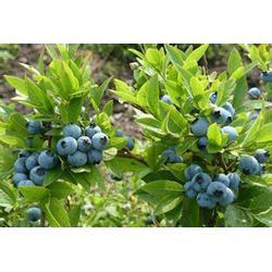北陆蓝莓苗多少钱一棵-柏源农业科技公司-大理北陆蓝莓苗图片