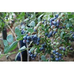 孝感北陆蓝莓苗 柏源农业科技公司