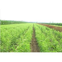 一年生嫁接油桃苗出售-柏源农业科技公司-一年生嫁接油桃苗图片