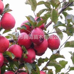 红将军苹果苗 红将军苹果树苗品种介绍图片