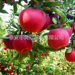 红星苹果苗 红星苹果树苗多少钱一棵图片