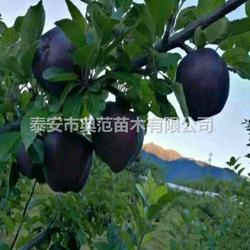 黑苹果树苗 黑苹果苗品种介绍产地直供图片