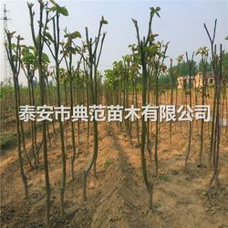 1公分黄金梨树苗 黄金梨树苗多少钱图片