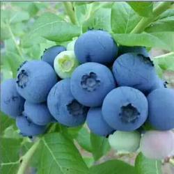 蓝莓苗、泰安柏源农业科技、组培蓝莓苗