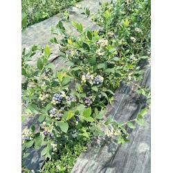 5年蓝莓苗-柏源农业科技公司(在线咨询)5年蓝莓苗销售基地图片