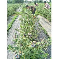 北高丛蓝莓苗,合肥蓝莓苗,柏源农业科技