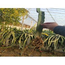 20公分火龙果苗销售基地|20公分火龙果苗|柏源农业科技公司图片