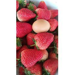 菠萝草莓苗报价-菠萝草莓苗-柏源农业科技公司图片