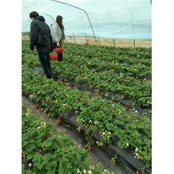 四季草莓苗、草莓苗、柏源农业科技公司(多图)图片