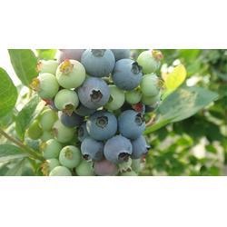 安顺蓝莓苗,柏源农业科技公司(在线咨询),组培蓝莓苗图片