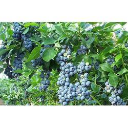 北高丛蓝莓苗、蓝莓苗、泰安柏源农业科技