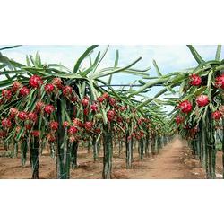 30公分火龙果苗_柏源农业科技公司_30公分火龙果苗种植图片