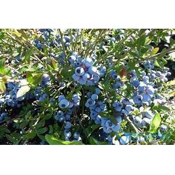 宣城蓝莓苗,优质蓝莓苗,  柏源农业科技公司图片