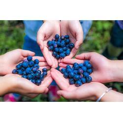 柏源农业科技公司(多图)、优质北陆蓝莓苗、岳阳北陆蓝莓苗图片