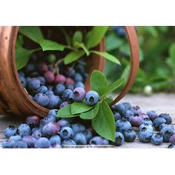 泰安柏源农业科技(多图),南高丛蓝莓苗,阳泉蓝莓苗图片