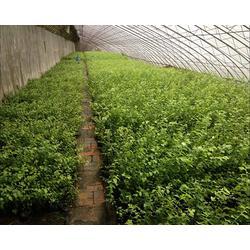 泰安柏源农业科技|运城蓝莓苗|2年蓝莓苗图片